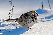 Song Sparrow - Melospiza melodia on a branch eating seeds after a snowstorm