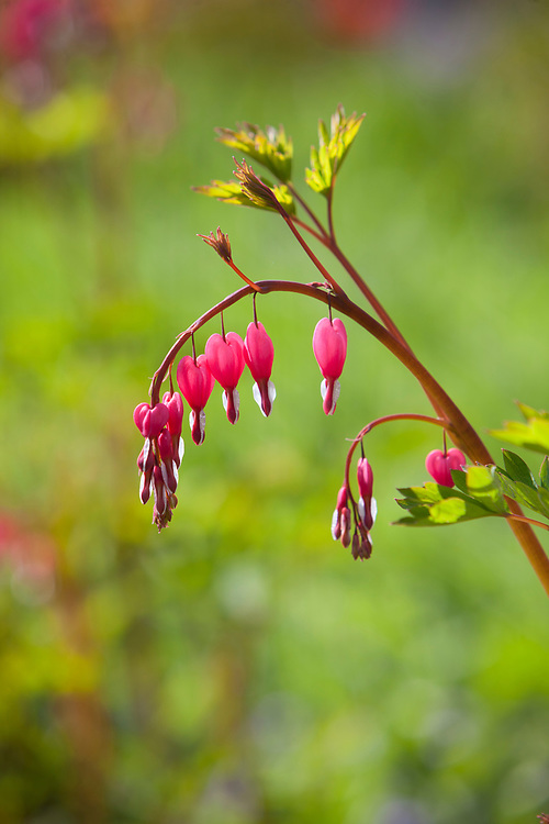Flowering Bleeding Heart (Dicentra spectabilis).