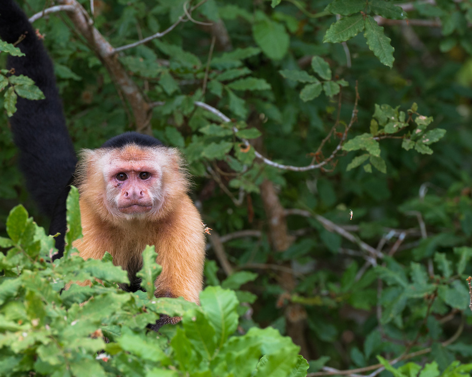 A white faced monkey staring out from a tree branch