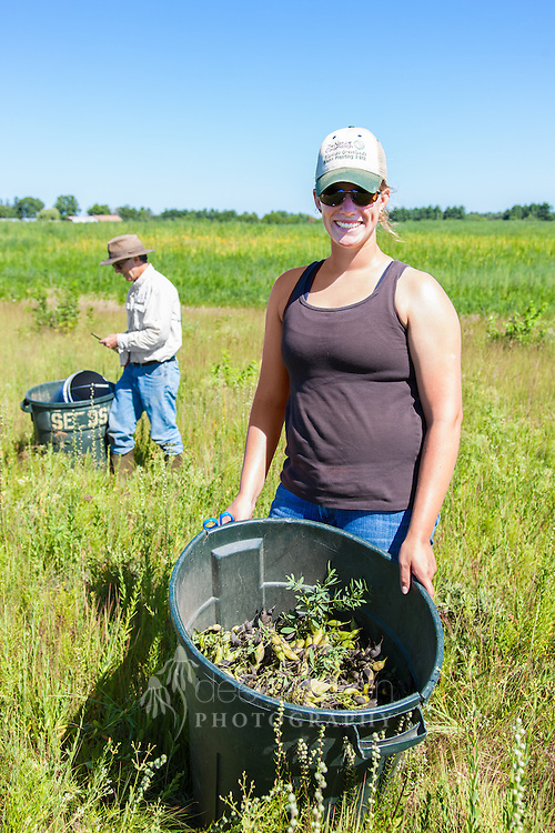 This gal has hand–harvested the seeds from the native prairie plant, Cream Wild Indigo. These collected seeds will combine with a mix for a new planting, as Nachusa Grasslands restores a recently purchased cornfield back to prairie.