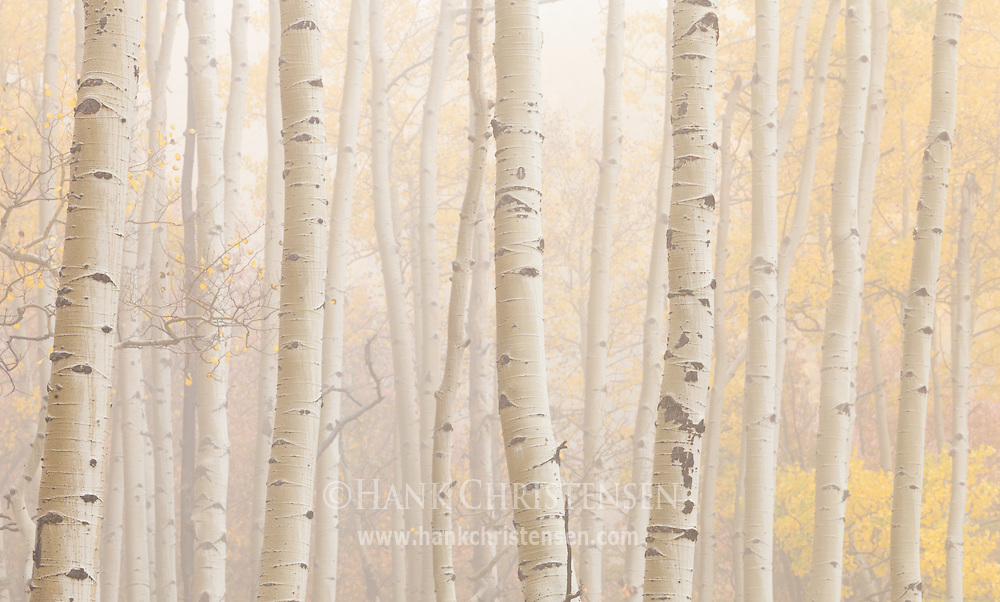 Thick fog shrouds a forest of aspen, Ridgway, Colorado