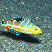 Puddingwife swim in open water just above and around reefs in Tropical West Atlantic; picture taken  Palm Beach, FL.
