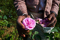 Inde, Uttar Pradesh, la ville des parfums où sont distillé les roses pour l'industrie du parfum, cueillette des roses // India, Uttar Pradesh, the city of perfumes where roses are distilled for the perfume industry, picking or roses