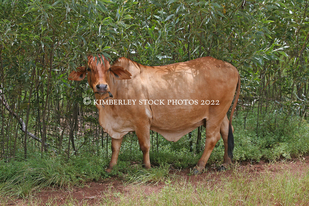 A Brahman stands chewing beside the Broome Derby road in the Kimberley wet season.