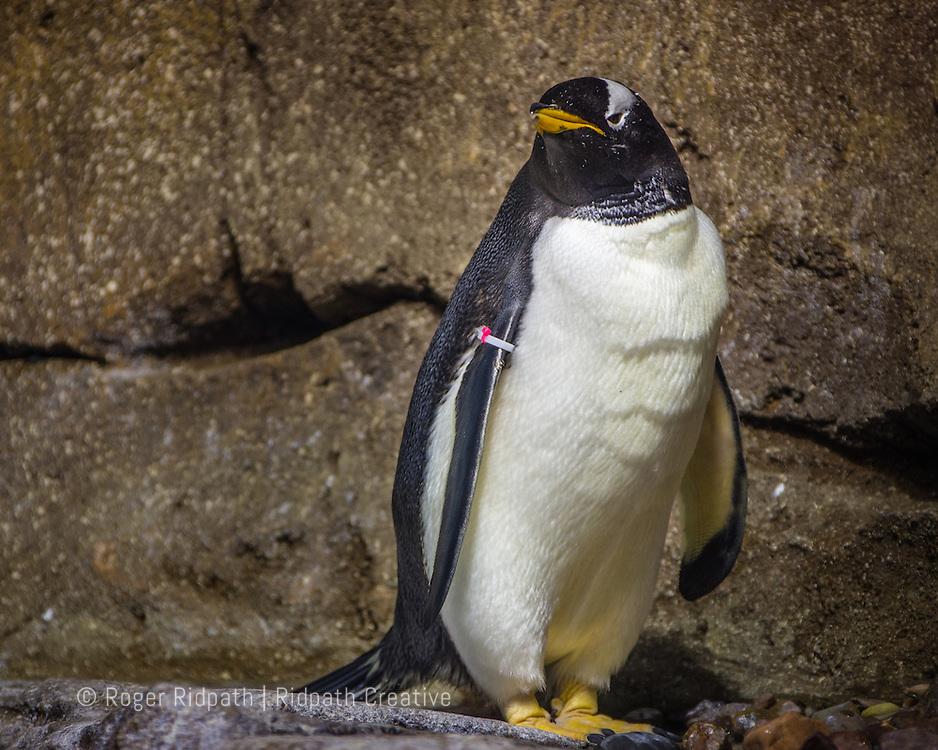 Gentoo Penguin looking at Kansas City Zoo