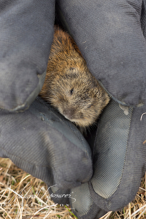 Denver Holt shows a brown lemming (Lemmus trimucronatus) that he has caught. Alaska