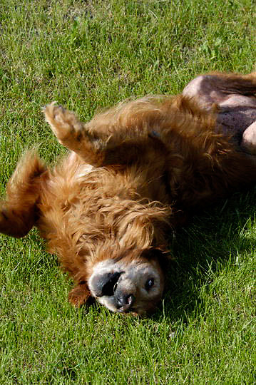 Bridger, a Golden Retriever Dog rolling on grass. Montana.