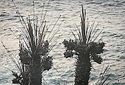 La riserva naturale di Capo Gallo devastata dall'incendio quasi certamente doloso del 16 giugno, dettagli di palma nana bruciata.<br /> The nature reserve of Capo Gallo In Sicily destroyed by an arson, detail of  burnt Mediterranean dwarf palms