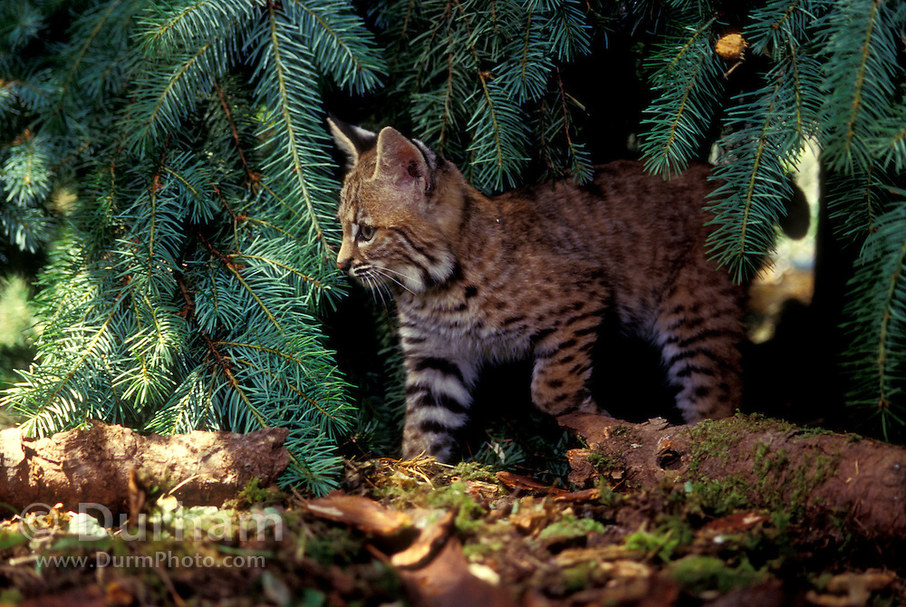 A six-week old bobcat kitten (Felis rufus). Temporarily captive in a rehab facility, near Eugene Oregon.