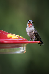 A juvenil male Anna's hummingbird perched at a backyard feeder.