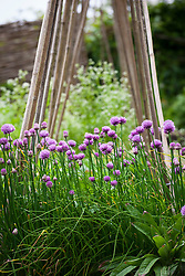 Chives growing in the vegetable garden at Glebe Cottage. Allium schoenoprasum