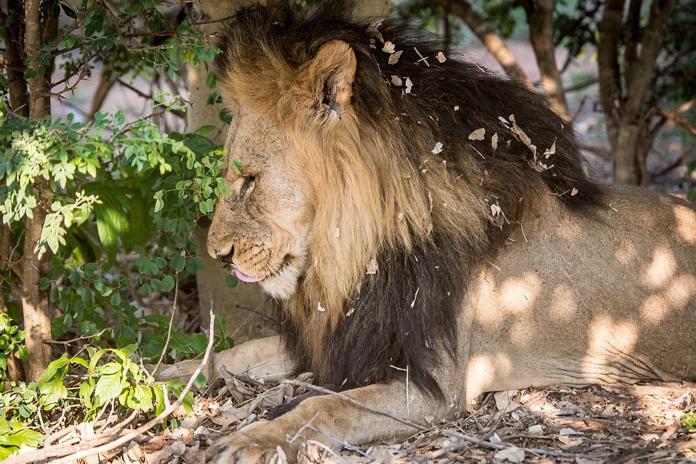 A large male Southern African lion (Panthera leo melanochaita) lying under the shade of some trees. Chobe National Park - Botswana