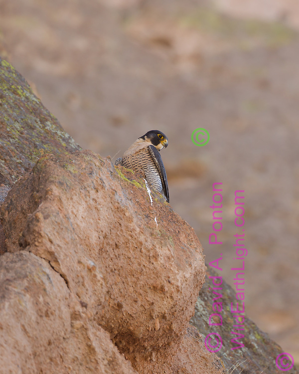Peregrine falcon perched on cliff watching over recently fledged young, © 2011 David A. Ponton