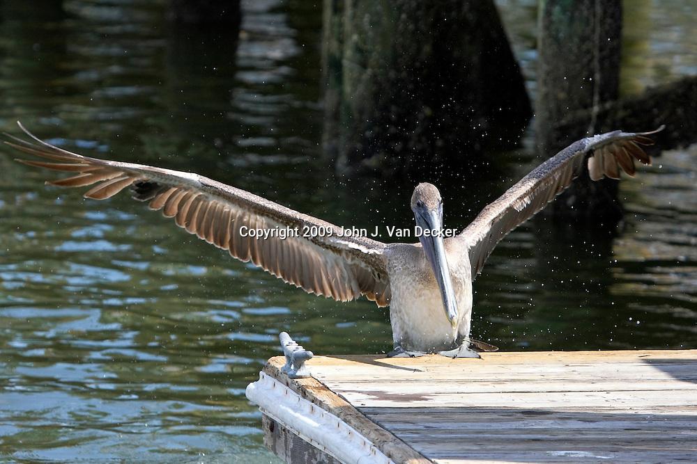 Brown Peilican landing on marina dock