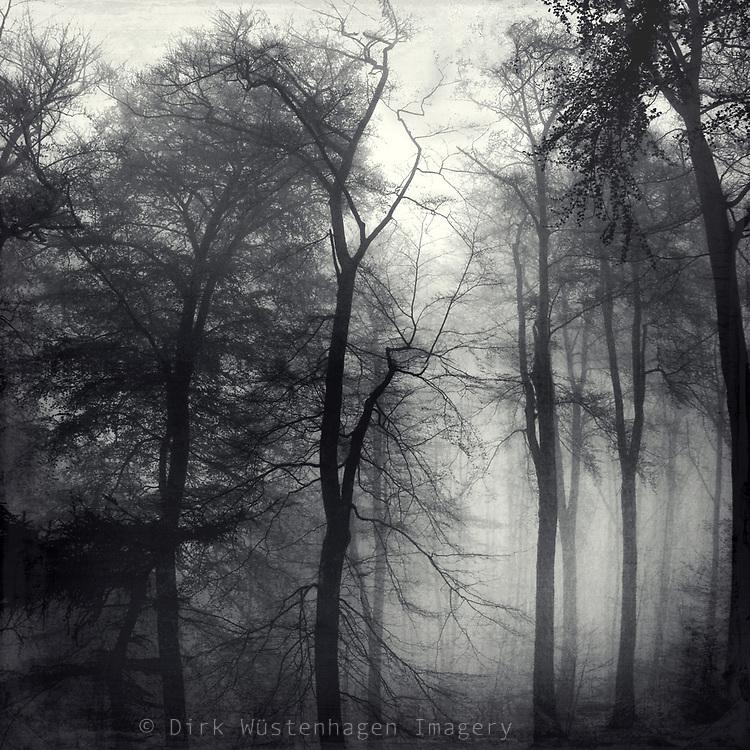 Trees in morning fog.