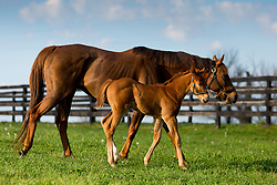 Seeking Gabrielle with her Flatter colt. <br /> Hinkle Farm is home to top stakes producing mares including Derby 142 favorite Nyquist and 2016 Ashland Stakes Weep No More, Friday, April 15, 2016.