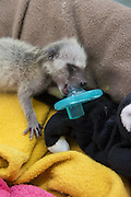 Raccoon <br /> Procyon lotor<br /> Six-day-old orphaned baby sucking on pacifier at wildlife rehabilitation center<br /> WildCare, San Rafael, CA