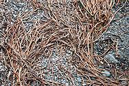 Old Bull Kelp stalks on the beach at Salt Creek Recreation Area on the Olympic Peninsula.