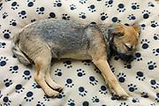 Cute Border Terrier puppy 12 weeks old sleeping on fleece pawprint dog bed