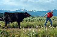 Will Wagner tries to get his steer named Rattler to walk back to the barn early on July 15. Wagner and his younger brother Trey are both raising steers this year for Teton County Fair's 4-H Beef Show on Friday. Their morning regimine includes walking, washing, drying, brushing and feeding the bovines.