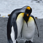 King Penguin (Aptenodytes p. patagonica) male and female courting prior to mating. Right Whale Bay