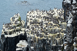 Nesting Guillemots at Pilgrim's Haven on Isle of May National Nature Reserve, Firth of Forth, Scotland, UK