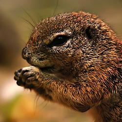 Esquilo-terricola-africano (Xerus inauris). Registro feito em 2009. Animal em Cativeiro.<br /> <br /> <br /> ENGLISH: Cape ground squirrel. Picture made in 2009. Captive animal.