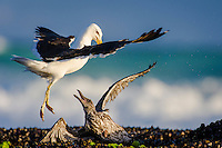 Adult Kelp Gull attacking a juvenile Kelp Gull. De Hoop Marine Protected Area. Western Cape. South Africa.