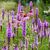 Purple Coneflower and Prairie gayfeathers, North American native meadow perennial flowers (Echinacea purpurea and Liatris spicata)