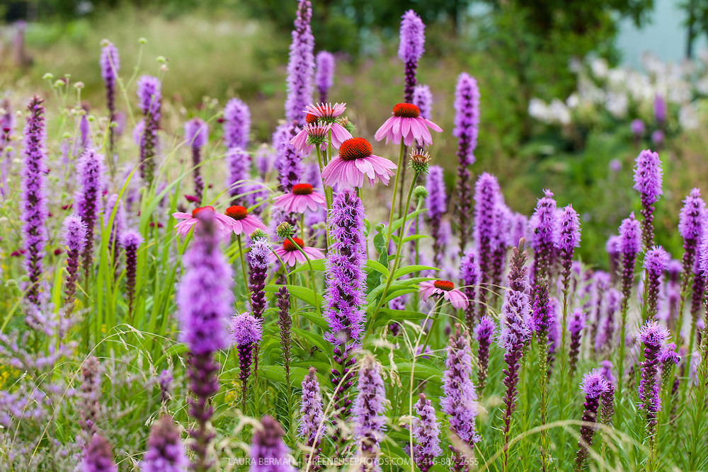Purple Coneflower and Prairie gayfeathers, North American native meadow perennial flowers (Echinacea purpurea and Liatris spicata)