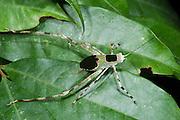 Katydid nymph<br /> Odzala - Kokoua National Park<br /> Republic of Congo (Congo - Brazzaville)<br /> AFRICA