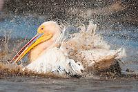 Bathing Great White Pelican, Lake Nakuru National Park, kenya
