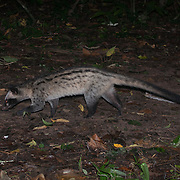 Common Palm Civet in Kaeng Krachan National Park, Thailand.