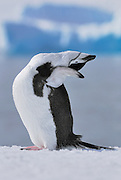 Chinstrap penguins stretches his back and neck while on the snow with ocean and iceberg background.