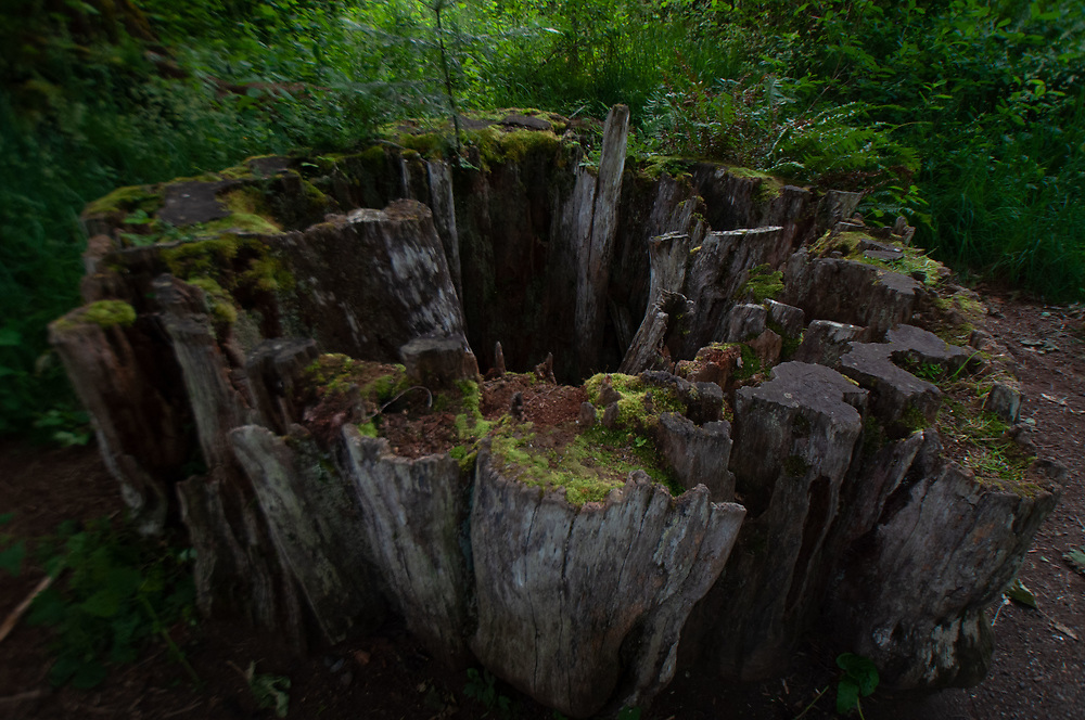 Old-Growth Stump Near Madison Falls, Olympic National Park, Washington, US