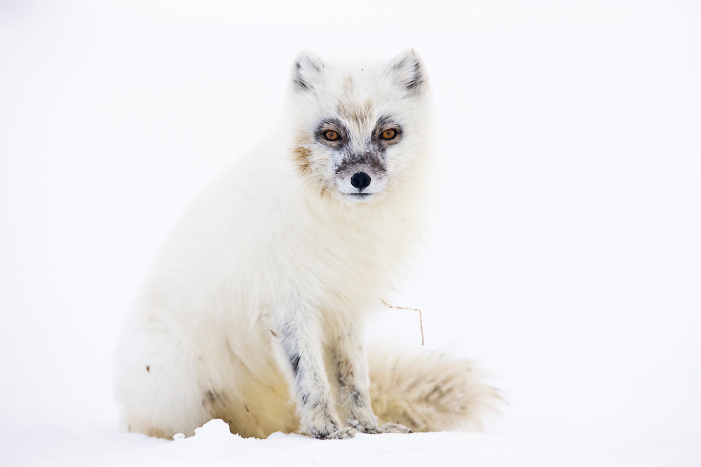Zorro ártico, Svalbard