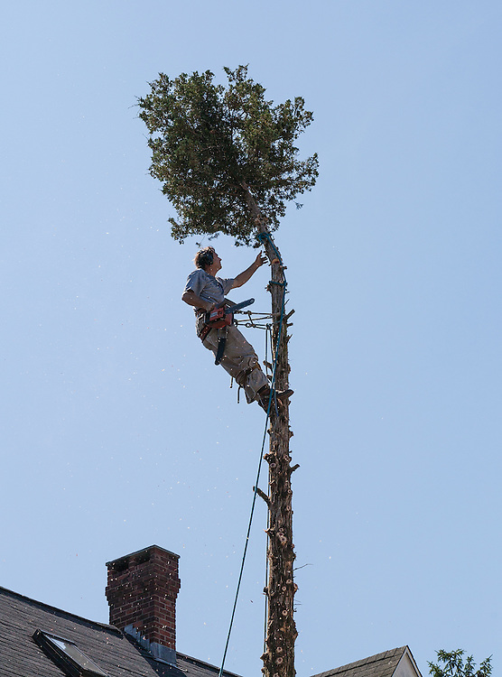 Tree worker gets ready to top a Juniper tree from a rope perch below
