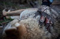 COYOTE HUNTER FEELING OF THE PELT OF A DOWNED COYOTE