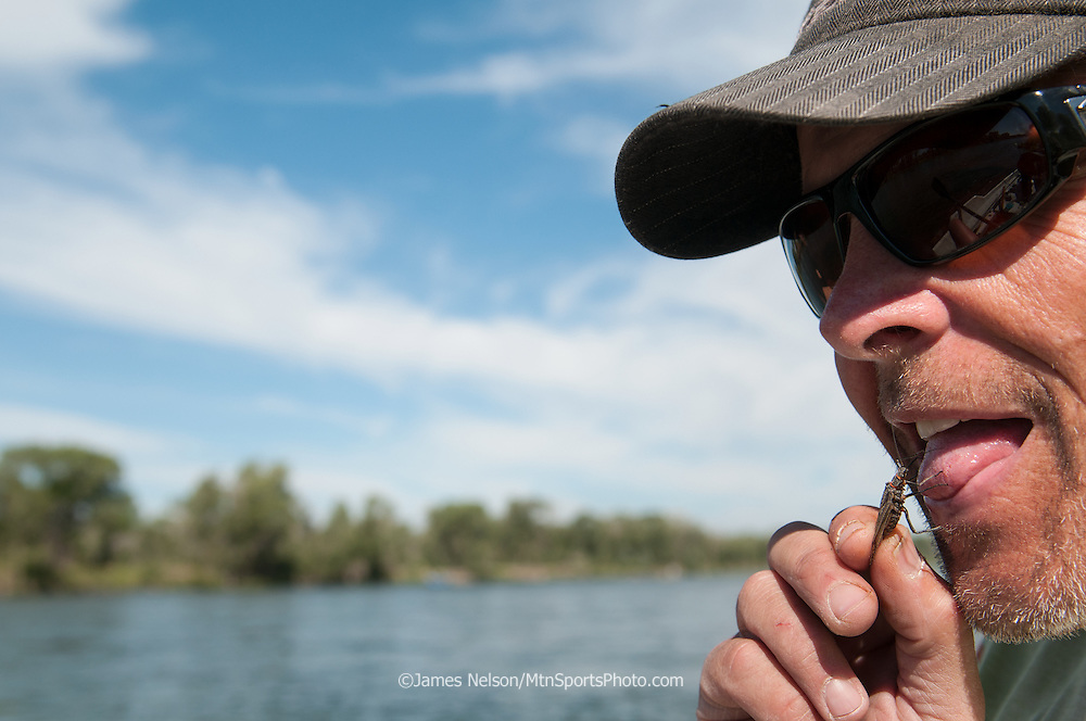 Mike Towler eats a giant salmon fly (Pteronarcys californica) to get his mojo right and become one with the trout before fly fishing for them on the South Fork of the Snake River, Idaho.