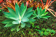 Tropical plants at Paleaku Gardens Peace Sanctuary, Kona Coast, The Big Island, Hawaii USA