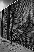 Tree shadow on a brick wall. Long Island City Queens.