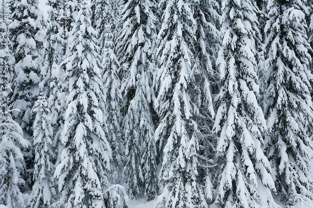 Forest trees covered with heavy snow, Central Cascades, Washington, USA.