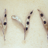 Three dried seedpods of Laburnum or Laburnum anagyroides tree lying on antique paper and split open to reveal poisonous seeds