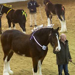 Mr B Lowrie's Upperfoot Sir Selwyn<br /> Champion Best Shod (Farrier - Rob Bedford)<br /> 4th place  Senior Geldings<br /> f 2006<br /> Sire  Harwood's Commander<br /> Dam  Lancashire Lady Second<br /> Breeder  Mr R Wheelwright