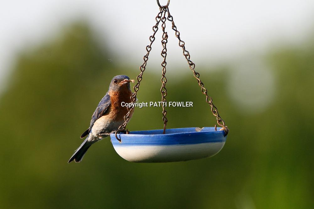 Bluebird on mealworm feeder