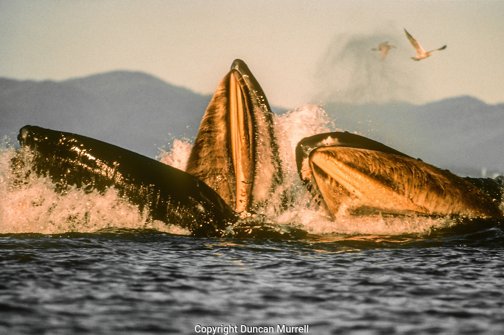 This was the place where I observed and photographed their spectacular cooperative feeding using a bubble net the most. Their baleen plates can clearly be seen in this photo. They have about 330 pairs of dark gray baleen plates with coarse gray bristles on the inside hanging from the jaws. They are about 25 inches (0.6 m) long and 13.5 inches (34 cm) wide. They act as filters to trap their prey when they shut their mouths and expel the water.