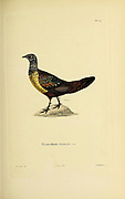 Painted spurfowl (Francolinus hardwickii) [here as Francolinus hardaoickii] Souvenirs d'un voyage dans l'Inde exécuté de 1834 à 1839 (A voyage to India) by Delessert, Adolphe, published in Paris in 1843