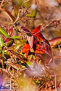 Northern Cardinal - Cardinalis cardinalis picking out from behind a leaf