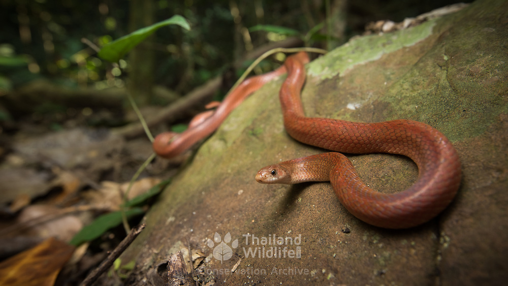 Hua Hin Kukri Snake (Oligodon huahin) male in Kaeng Krachan national park, Thailand