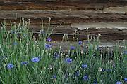 Wildflowers, Blue flowers, Flowers, Green, Cabin, Log Cabin, Chinking, Salmon, Idaho